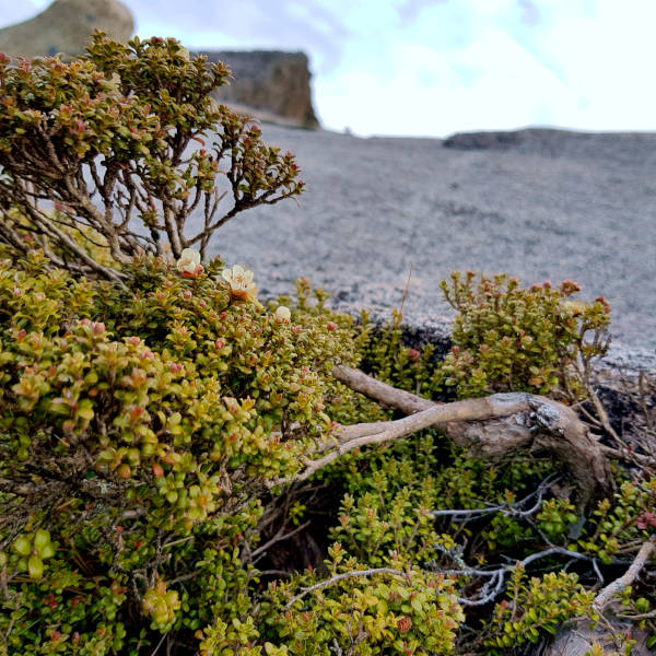 Alpine vegetation zone at summit of Mount Kinabalu.