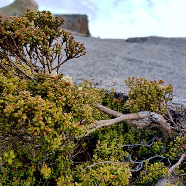Alpine vegetation zone at summit of Mount Kinabalu.