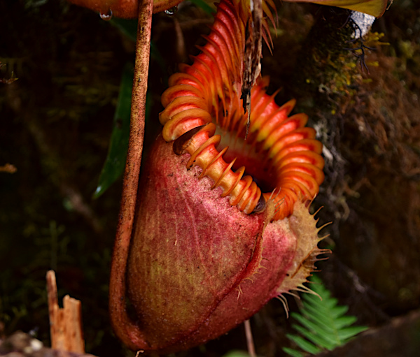 A red Kinabalu pitcher plant.