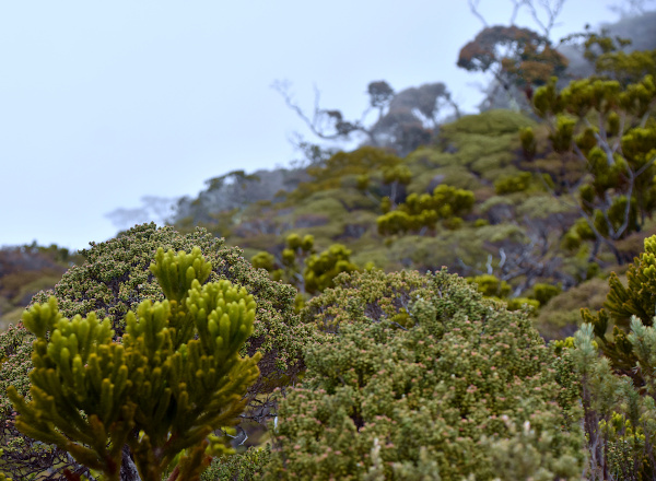 The conifer species at 2500 metres.