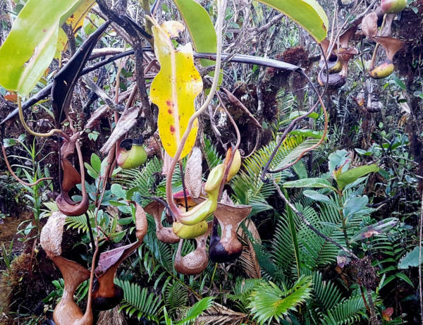 pitcher plant at Trus Madi