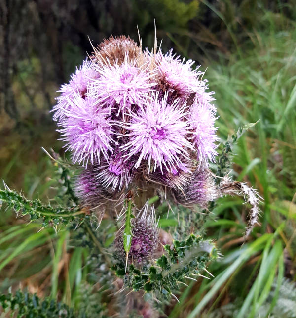 The Giant Thistle plant, otherwise known as Onopordum acanthium seen close to Machame Camp.