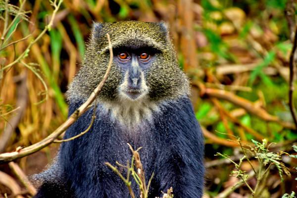 Blue Monkey of Kilimanjaro spotted along the Machame Route, Kilimanjaro.