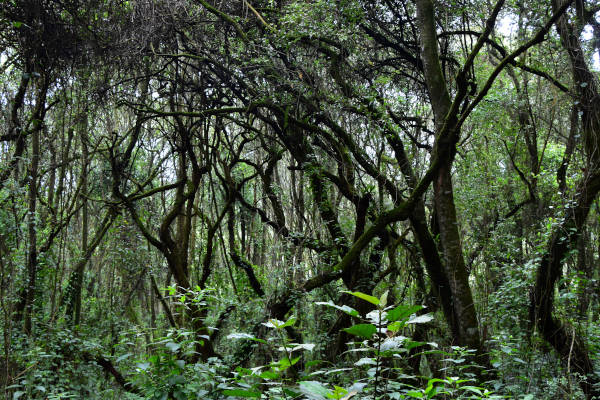 Sinuous trees branches weaving through the lush rain forest at Kilimanjaro.