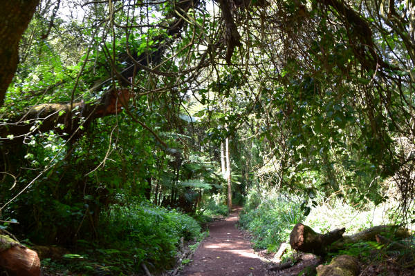 The well-laid out path towards Machame camp at 2,000 metres.