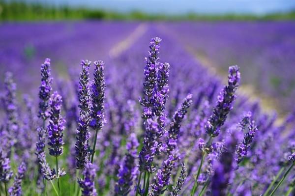 A sea of lavender field.