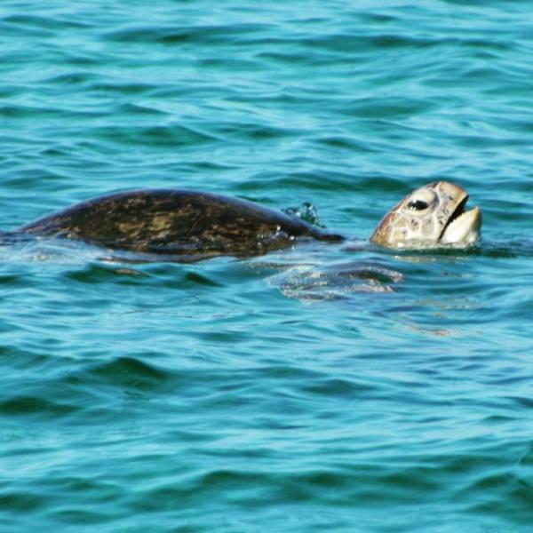 sea turtle in Mabul