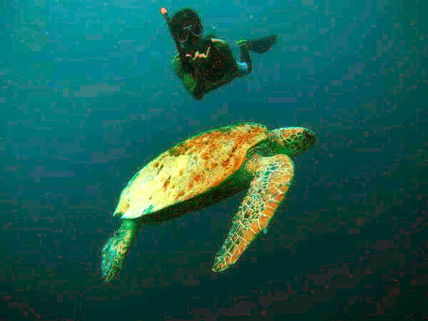 The one and only Green sea turtle known to be endangered and protected in many countries.