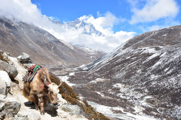 A yak at everest region.