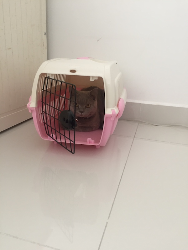 Atiqah's cat, Abu, sitting in the carrier, ready to visit the vet.