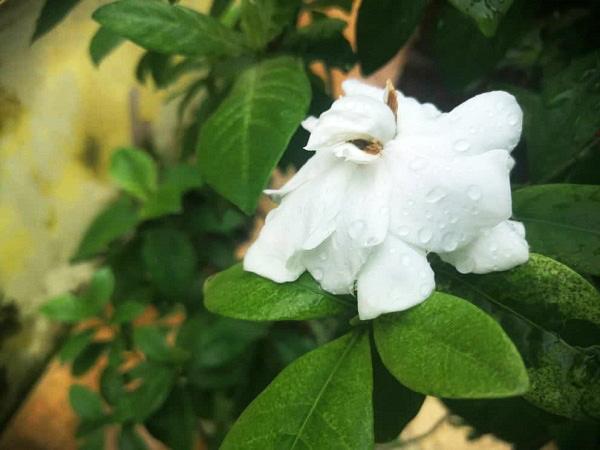 MCO gardenia
