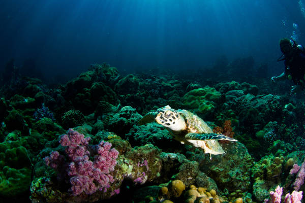 Marine turtles are key contributors in the marine ecosystem. Each turtle species has a role in maintaining the marine ecosystem.