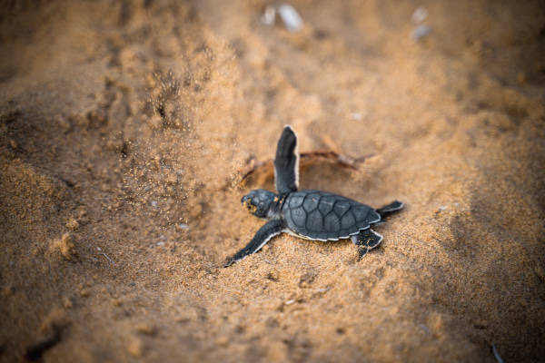 Although the chances of survival of each hatchling is low, female sea turtles can lay thousands of eggs in their lifetime, allowing at least a few of them to survive.