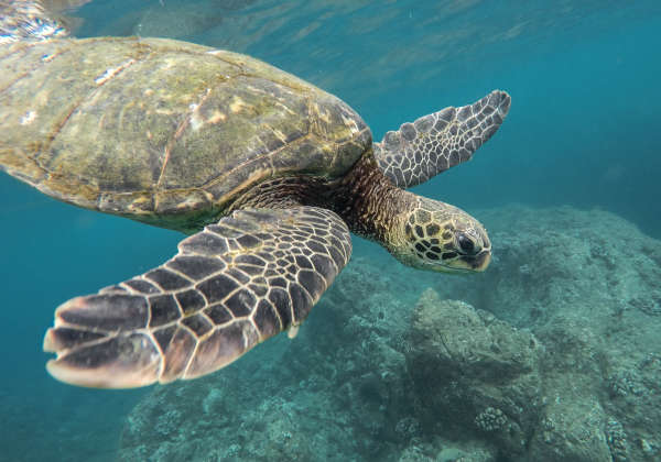Sea turtles can hold their breath up to several hours, depending upon the level of activity. Usually, a resting or sleeping turtle can remain underwater for 4-7 hours.