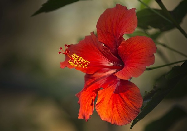 A red hibiscus flower dangling from its branch.