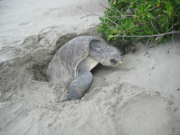 Marine turtles usually lay their eggs at night as there are no interruptions during the night.
